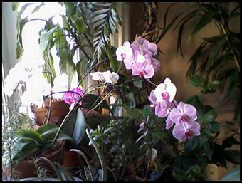 Winter orchids in the window