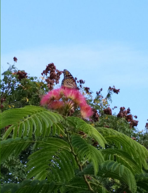 monarch and mimosa