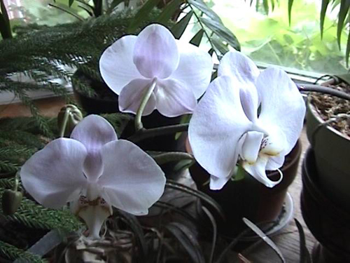 White and lavender orchid