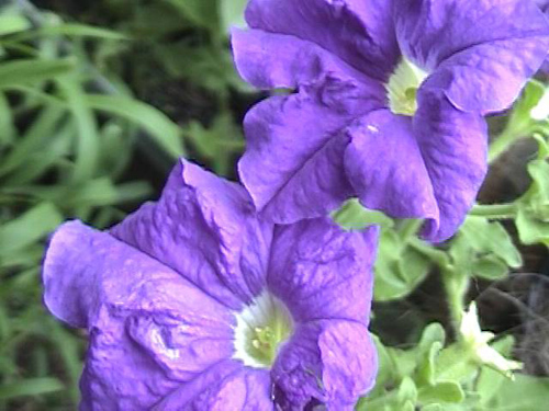 great color petunias